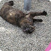 Domestic Shorthair Cat for adoption in Sherman Oaks, California - Nova