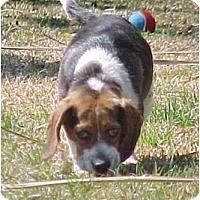 Adopt A Pet :: Sassafras - Lincolndale, NY