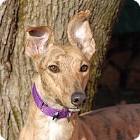 Adopt A Pet :: Tisha - Ware, MA