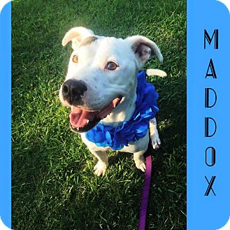 American Pit Bull Terrier Mix Dog for adoption in Fayetteville, North Carolina - Maddox