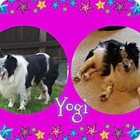 Adopt A Pet :: Yogi - Houston, TX