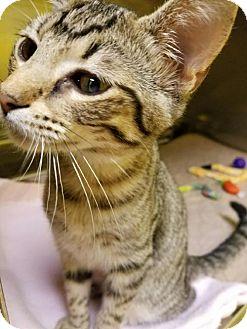 Domestic Shorthair Cat for adoption in Monroe, Louisiana - Shrek
