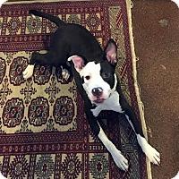 Adopt A Pet :: Sherlock - Detroit, MI