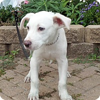Adopt A Pet :: Knute - West Chicago, IL
