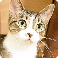 Adopt A Pet :: Catie-GREEN-EYED CUTIE - Naperville, IL