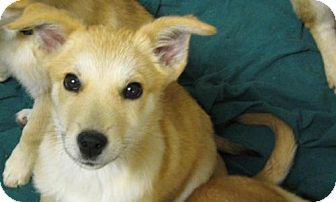 Shepherd (Unknown Type) Mix Puppy for adoption in Denver, Colorado - Sabre