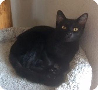 Bombay Kitten for adoption in Houston, Texas - Desmond