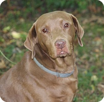 Labrador Retriever Mix Dog for adoption in Centerville, Tennessee - Roxy
