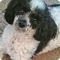 Adopt A Pet :: OREO - Walnut Creek, CA