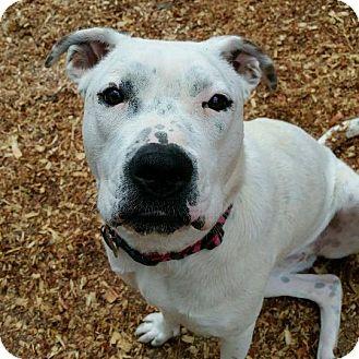 Dalmatian/Australian Shepherd Mix Dog for adoption in Newnan, Georgia - Bella
