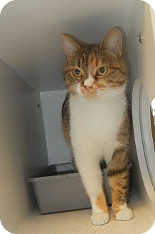 Domestic Shorthair Cat for adoption in Newport, North Carolina - Tailey