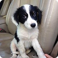 Adopt A Pet :: Pete - pending - Manchester, NH