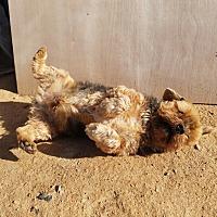 Adopt A Pet :: Tobby - Oakton, VA