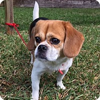 Adopt A Pet :: Paisley - Davie, FL