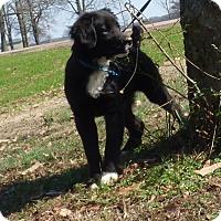Adopt A Pet :: Seraphim - Bedminster, NJ