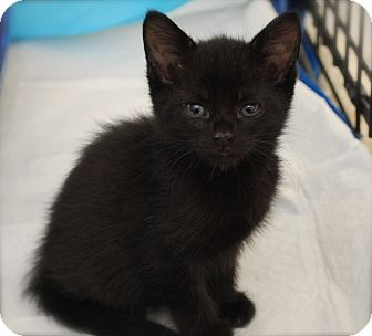 Domestic Shorthair Kitten for adoption in Trevose, Pennsylvania - Blink