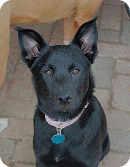Collie/Shepherd (Unknown Type) Mix Puppy for adoption in Marietta, Georgia - Sasha