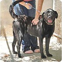 Adopt A Pet :: Bear - Wichita, KS