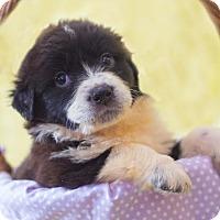 Adopt A Pet :: Matilda - Baltimore, MD