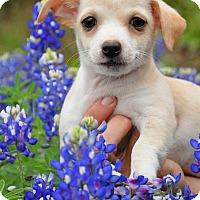 Adopt A Pet :: Daxter - Austin, TX