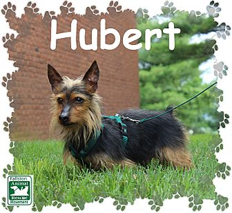 Dachshund/Yorkie, Yorkshire Terrier Mix Dog for adoption in Fallston, Maryland - Hubert