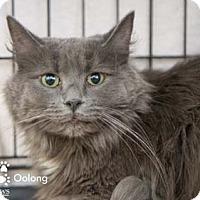 Adopt A Pet :: Oolong - Merrifield, VA