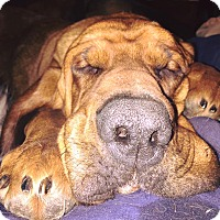 Adopt A Pet :: Megan - Fayetteville, AR