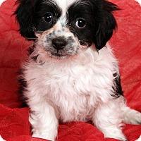 Adopt A Pet :: Junie Shih ton - St. Louis, MO