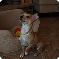 Adopt A Pet :: Thumbelina  4 Months - C/S & Denver Metro, CO