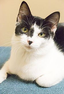 Manx Cat for adoption in Chicago, Illinois - Little Bud