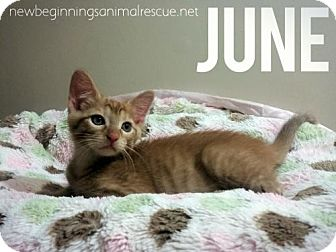 Domestic Shorthair Cat for adoption in Olive Branch, Mississippi - June