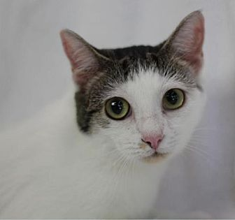 Domestic Shorthair Cat for adoption in Raleigh, North Carolina - Lady Suki
