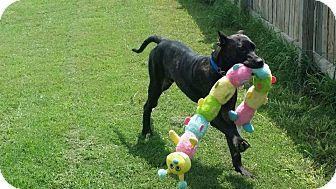 Presa Canario Mix Puppy for adoption in Killeen, Texas - Matteo