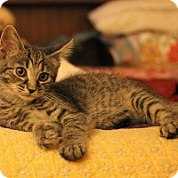 Domestic Shorthair Kitten for adoption in Carlisle, Pennsylvania - Eve