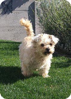Maltese Mix Dog for adoption in Seattle, Washington - CK - Cute Maltese Mix