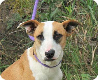 Australian Shepherd/Hound (Unknown Type) Mix Dog for adoption in Mukwonago, Wisconsin - **BALOU** MEET DEC 17th!