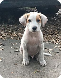 Border Collie/Australian Shepherd Mix Puppy for adoption in Houston, Texas - Dom