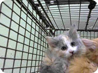 Domestic Longhair Kitten for adoption in San Bernardino, California - URGENT on 12/4 at DEVORE