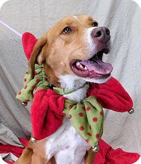 Labrador Retriever/Hound (Unknown Type) Mix Dog for adoption in Montgomery City, Missouri - Dobber