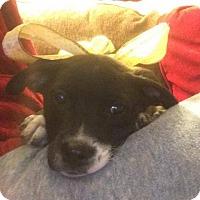 Adopt A Pet :: Jack Black - Pleasant Hill, CA