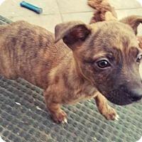 Adopt A Pet :: Shaina - Long Beach, CA