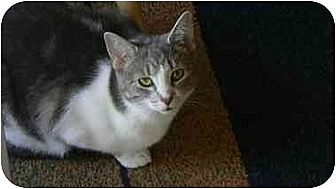 Domestic Shorthair Cat for adoption in Clarksville, Indiana - Monkey