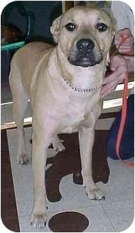 Labrador Retriever/German Shepherd Dog Mix Dog for adoption in North Judson, Indiana - Luke
