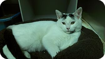 Domestic Shorthair Cat for adoption in Richboro, Pennsylvania - Madonna