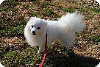 Pomeranian Puppy for adoption in Richmond, Virginia - Billy