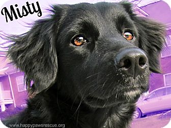 Misty   Adopted Dog   South Plainfield, NJ   Flat-Coated ...  Misty   Adopted...