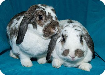 Mini Lop Mix for adoption in Los Angeles, California - Didi & Chuckie