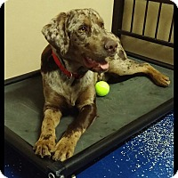 Adopt A Pet :: Remington - Rockwall, TX