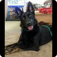 Adopt A Pet :: Samba - Houston, TX