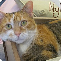 Adopt A Pet :: Nylo - Covington, KY